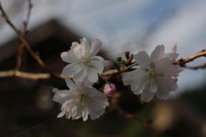 棒ノ嶺十月桜