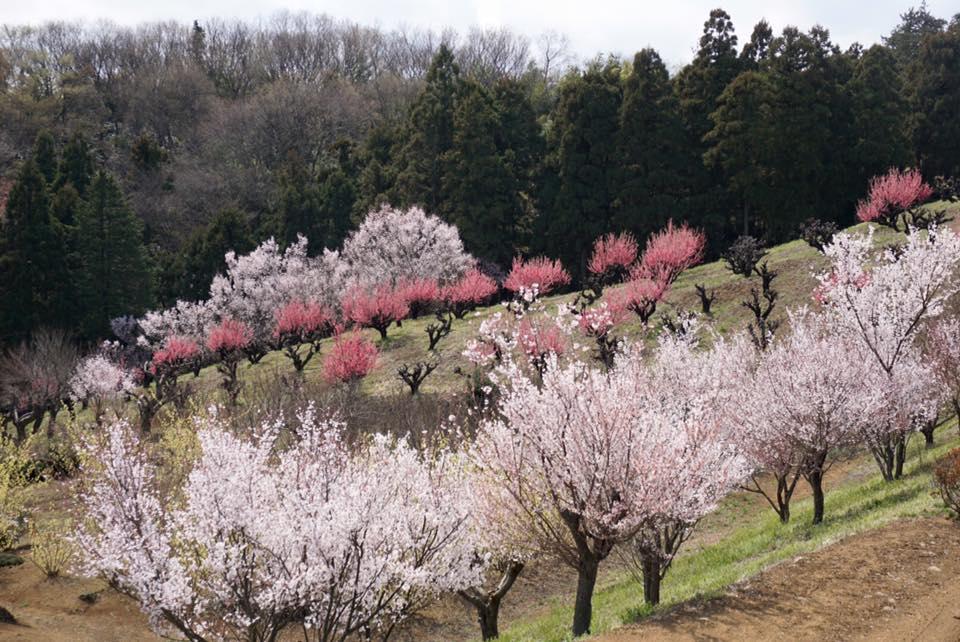 桃源郷の桃畑