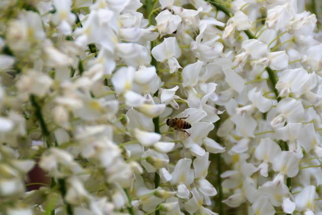 花の香りに誘われたミツバチ