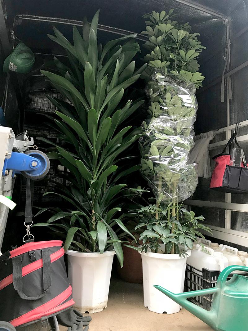 観葉植物ホンコンカポック グローカル