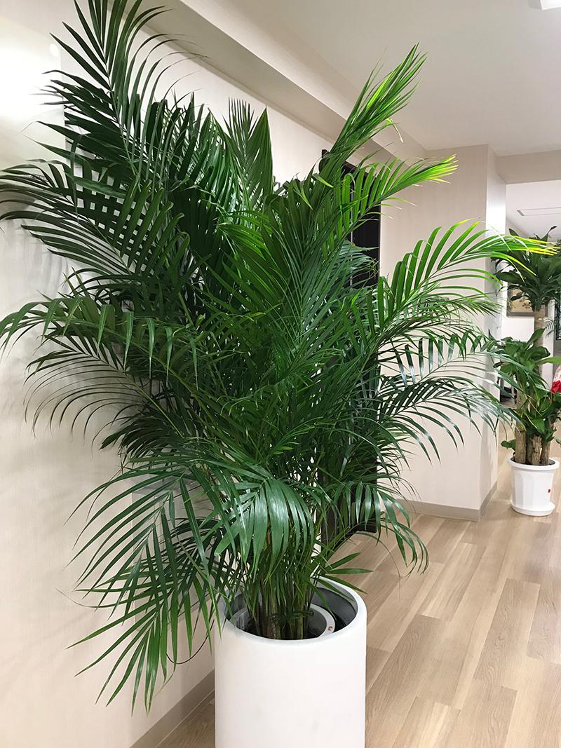 観葉植物椰子