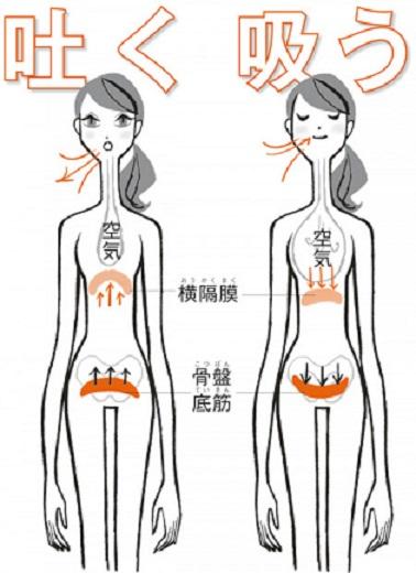 骨盤底筋と横隔膜